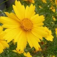 ハルシャギク属 晩春~初夏 黄色い花