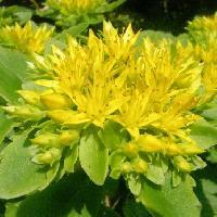 マンネングサ属 初夏 黄色い小さな花