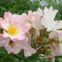 バラ属 初夏 ピンクの花