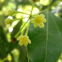 ニッケイ属 初夏 極小さい黄緑色の花