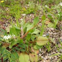 キュウリグサ属 楕円形互生単葉 根生葉は卵形、長い葉柄がある