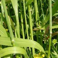 オオムギ属 中空の茎 ストローとして使われていた