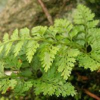 シノブ科 モスグリーンの羽状複葉 根茎からややまばらに出る