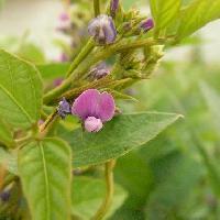 ダイズ属 秋 紫色 小さな花