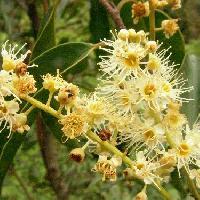 バクチノキ亜属 秋 小さな白い花