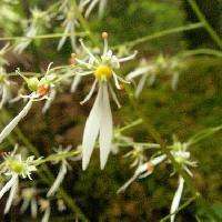 ユキノシタ属 秋 小さな白い花