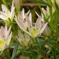 センブリ属 秋 小さな白い花 合弁花 5深裂 雄蕊の付け根に細かい毛