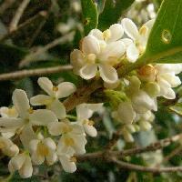 モクセイ属 晩秋 小さな白い花 香りが強い