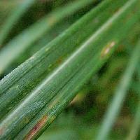 ススキ属 細長 葉の側面には鋸の歯のような細かい鋸歯がありよく切れる