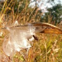 カモメヅル属 茶褐色の種子 綿毛が付いている