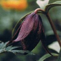 バイモ属 夏 大きな黒紫の花