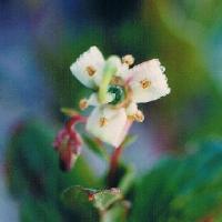 ホツツジ属 ミヤマホツツジ 晩夏 小さな白い花