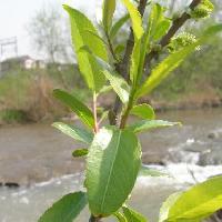 ヤナギ属 互生 小さな鋸歯がある楕円形の葉