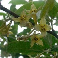 グミ属 晩春 白褐色の小さな花