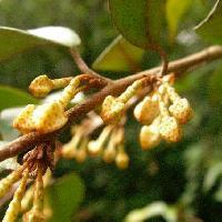 グミ属 秋 小さな白褐色の花