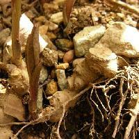 ハシリドコロ属 初春やや紫色を帯びた新芽