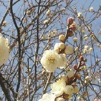 スモモ亜属 晩冬 白い花