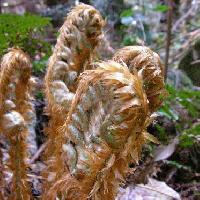 オシダ科 茶褐色の鱗片が多数並ぶ