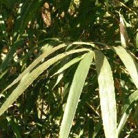 メダケ属 細長い葉が枝先に数枚付く