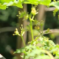 サンショウ属 晩春 黄色い葯が目立つ雄花 花弁は無い