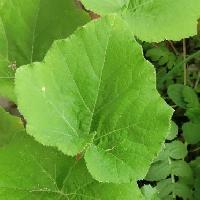 カボチャ属 毛が生えてゴワゴワしている葉 ハート型 浅裂 鋸歯