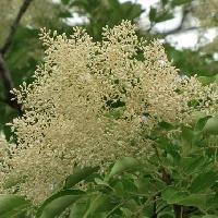 トネリコ属 初夏 ごく小さな白い花