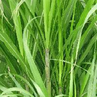ススキ属 細長く茎の縁にはナイフのようなギザギザがありよく切れる