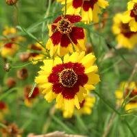 ハルシャギク属 初夏 黄色と茶色