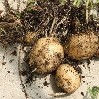 ナス属 ジャガイモ 可食部は地下茎