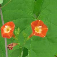 サツマイモ属 晩夏~秋 小さな赤い花