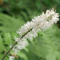サラシナショウマ属 秋 小さな白い花を穂状に多数つける