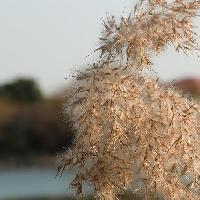 ヨシ属 秋冬 ススキの穂に似た綿毛