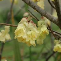 トサミズキ属 早春 ヒュウガミズキの黄色い花