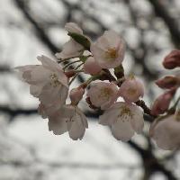 サクラ亜属 ソメイヨシノ 春 ピンク