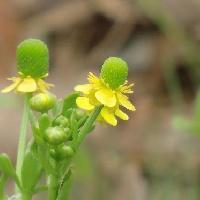 キンポウゲ属 晩春 黄色の花 緑色の丸い部分はメシベの集まり