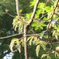 クマシデ属 春 黄緑色の雄花