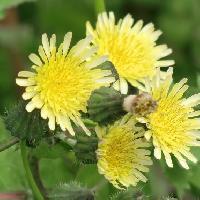 ノゲシ属 春 黄色い花