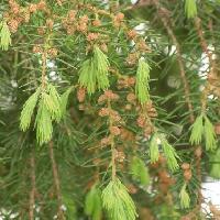 ビャクシン属 春 丸い茶褐色の雄花