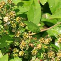 シモツケ属 春茶色に熟す小さな種 5個ずつ付く
