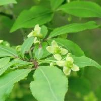 ニシキギ属 晩春 小さくて目立たない黄緑色の花