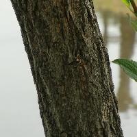 タニウツギ属 黒褐色でゴツゴツした樹皮