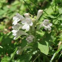 キランソウ属 春 白い花