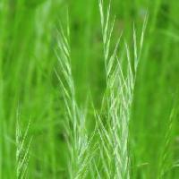 ウシノケグサ属 晩春から初夏 黄緑