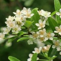 トキワサンザシ属 春 小さな白い花