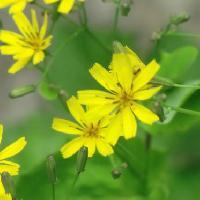 ニガナ属 晩春から初夏に黄色い花