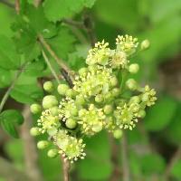 ナナカマド属 晩春 小さな白黄緑色の花