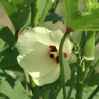 トロロアオイ属 夏 大きめの黄色い花
