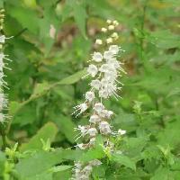 シモバシラ属 秋に小さな白い花を搭状につける