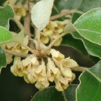 グミ属 秋 褐色を帯びた小さな白い花