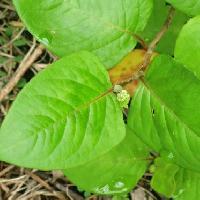 イヌタデ属 互生 全縁 葉柄側はすとんと切り落としたような卵形